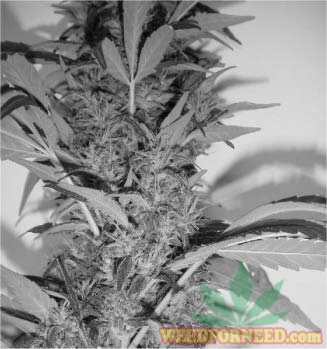 The_Cannabis_Grow_Bible_32