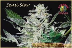 Sensi Star