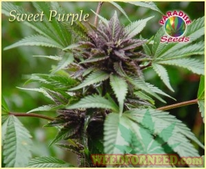 Sweet Purple