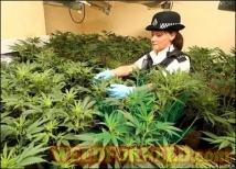 cannabis-pa416-tm